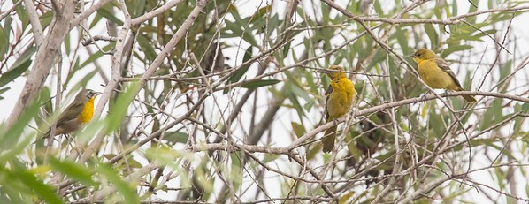 Chat (left) and Two Hooded Orioles 8-9-17 TRV