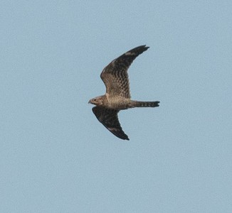 Lesser Nighthawk 8-6-17 Imperial Beach