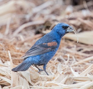 Blue Grosbeak , adult male TRV 8-24-17