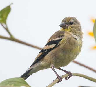 American Goldfinch 8-26-17 TRV