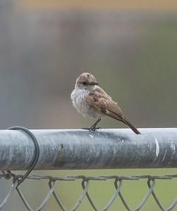 Vermilion Flycatcher Juvenile TRV Ballparks 8-10-17