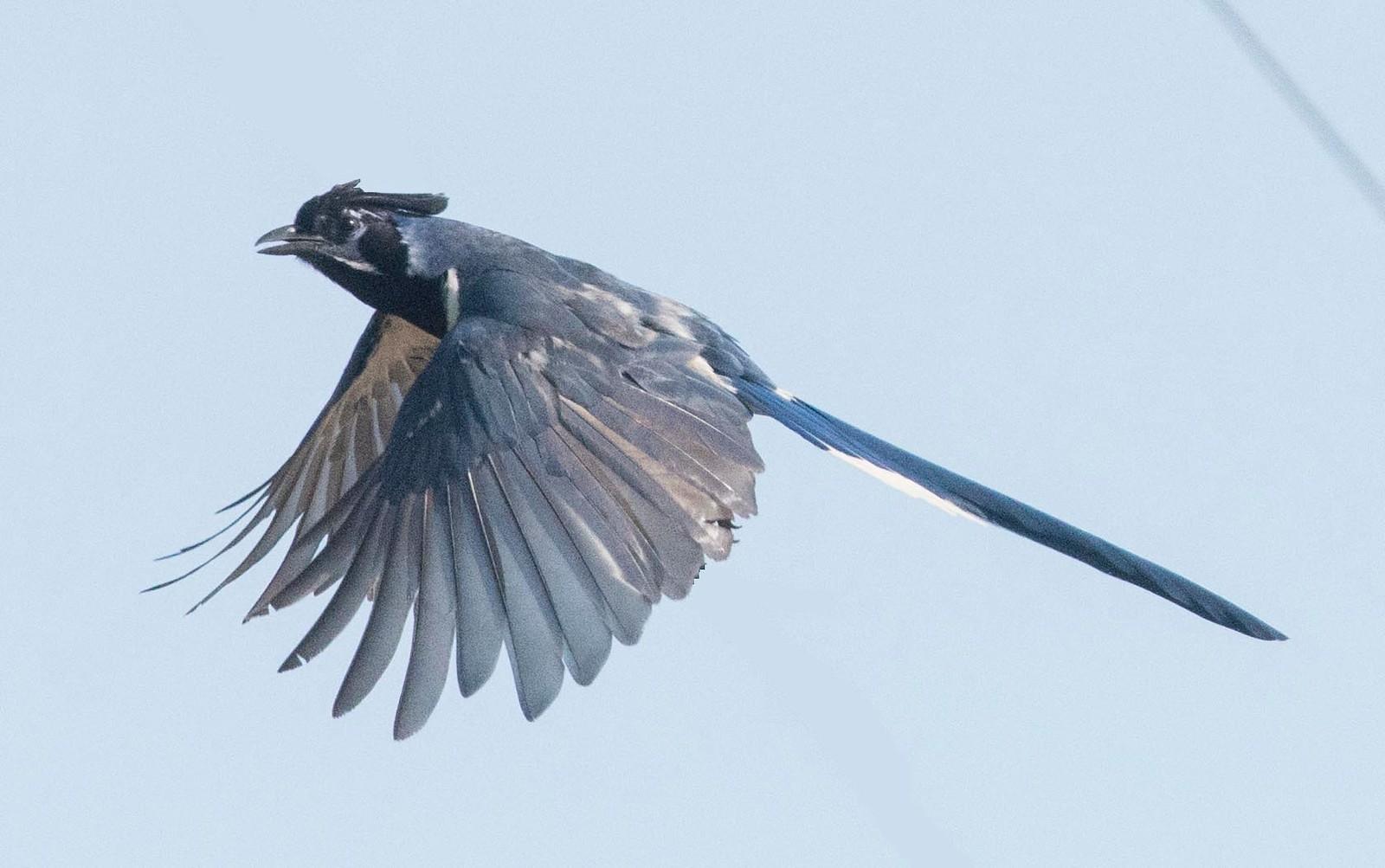 Black-throated Magpie Jay TRV 8-2-17