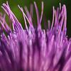 Macro purple thistle flower