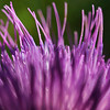 Macro purple thistle flower