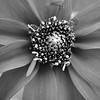 Macro zinnia flower in monochrome