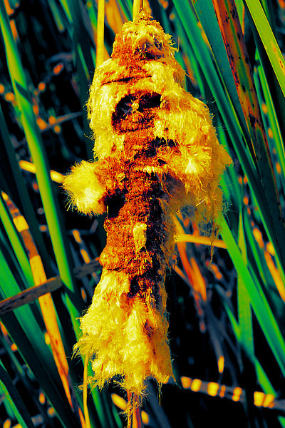 Open cattail abstract