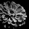 Macro zinnia flower in monochrome