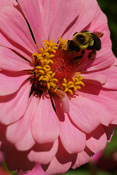 Busy bee on pink zinnia from  Inniswoods Metro Gardens in Westerville, Ohio