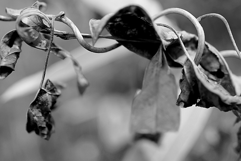 Dried leaves in monochrome - Leaves in August affected by the 2012 Summer drought, but make for an interesting photo.