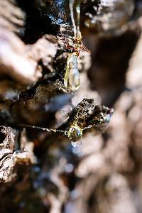 Pine sap macro