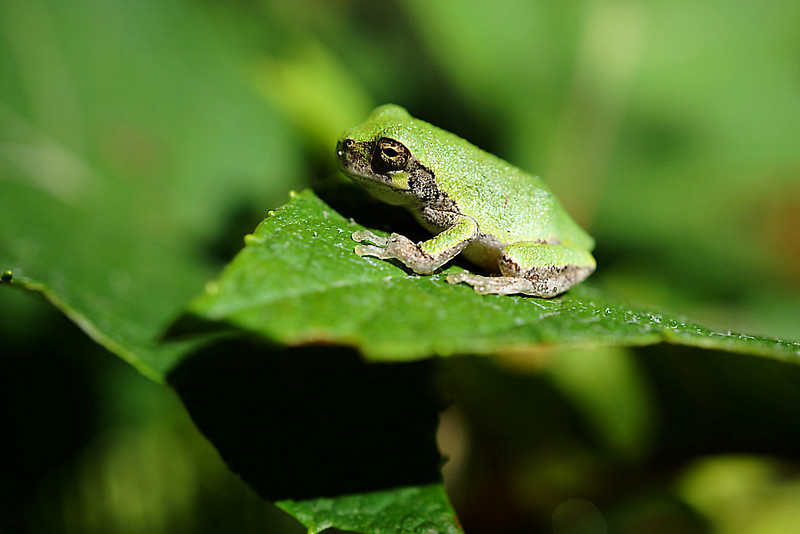 Tiny green frog found at Inniswoods Metro Gardens in Westerville, Ohio.