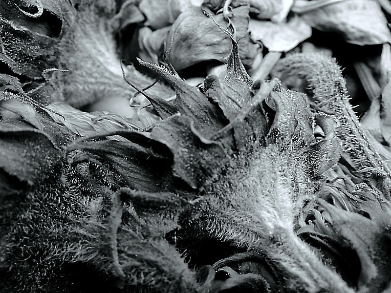 Dried sunflowers and roses macro done in monochrome