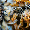 Dried sunflowers macro