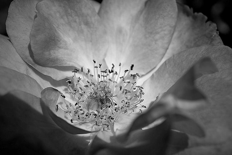 Monochrome rose edit from  Inniswoods Metro Gardens in Westerville, Ohio