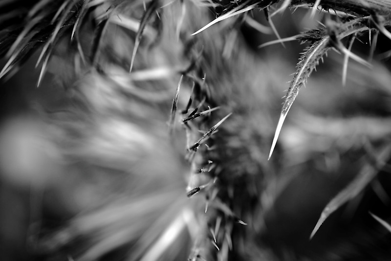 Thistle macro abstract in monochrome