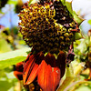 Sunflower that has seen better days at  Inniswoods Metro Gardens in Westerville, Ohio