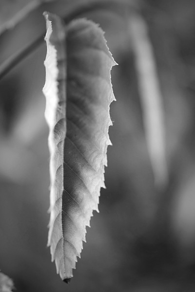 Macro of a leaf on a tree in monochrome
