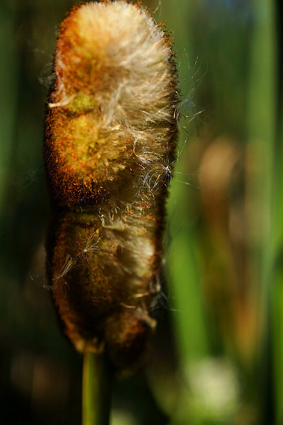 Cattail seed head macro slightly abstracted