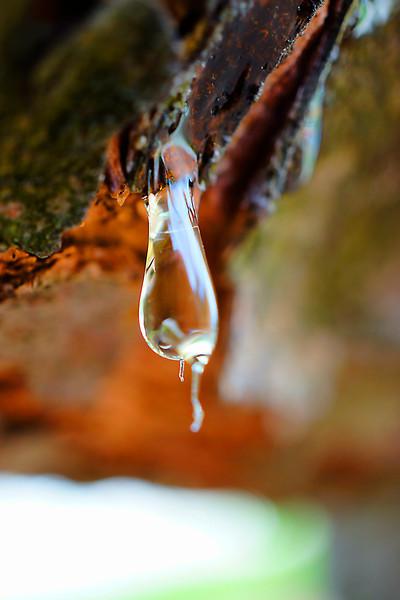 Pine sap droplet macro