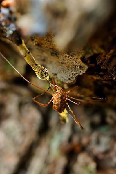 Spider stuck in pine tree sap - macro photo