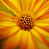 Macro edit of an yellow african daisy