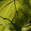 Heart-shaped green leaf macro from  Inniswoods Metro Gardens in Westerville, Ohio