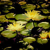 Waterlilies in a pond at  Inniswoods Metro Gardens in Westerville, Ohio