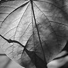 Heart-shaped monochrome leaf macro from  Inniswoods Metro Gardens in Westerville, Ohio