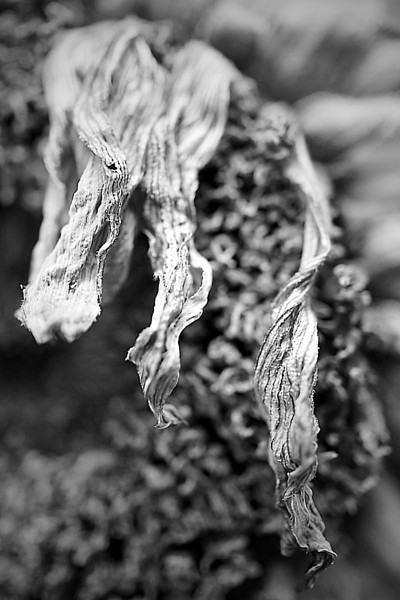 Dried sunflowers in monochrome