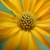 Macro edit of an yellow african daisy