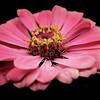 Macro zinnia flower