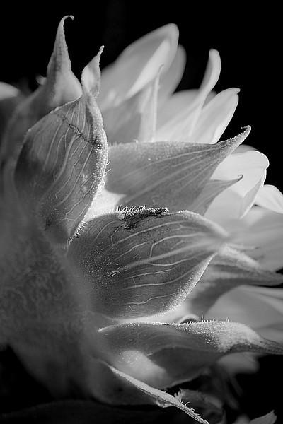 Monochrome sunflower macro