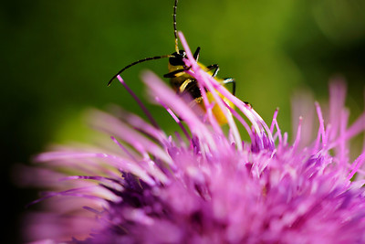 Yellow and black bug on a purple thistle flower