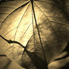 Heart-shaped sepia leaf macro from  Inniswoods Metro Gardens in Westerville, Ohio