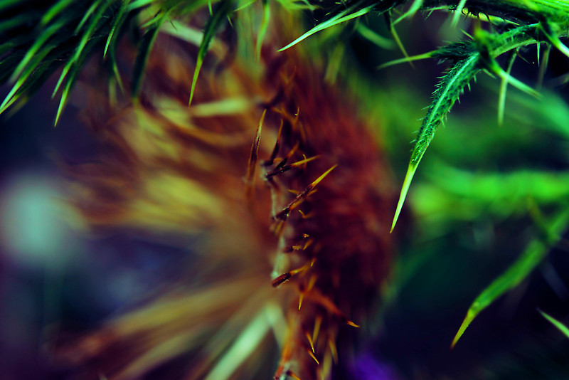 Thistle macro abstract