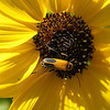 Yellow sunflower macro with black and gold beetle from  Inniswoods Metro Gardens in Westerville, Ohio