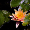 Waterlily in pond at  Inniswoods Metro Gardens in Westerville, Ohio