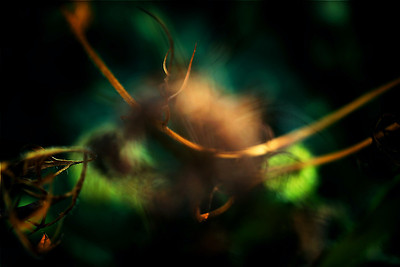 Queen Anne's lace abstract macro