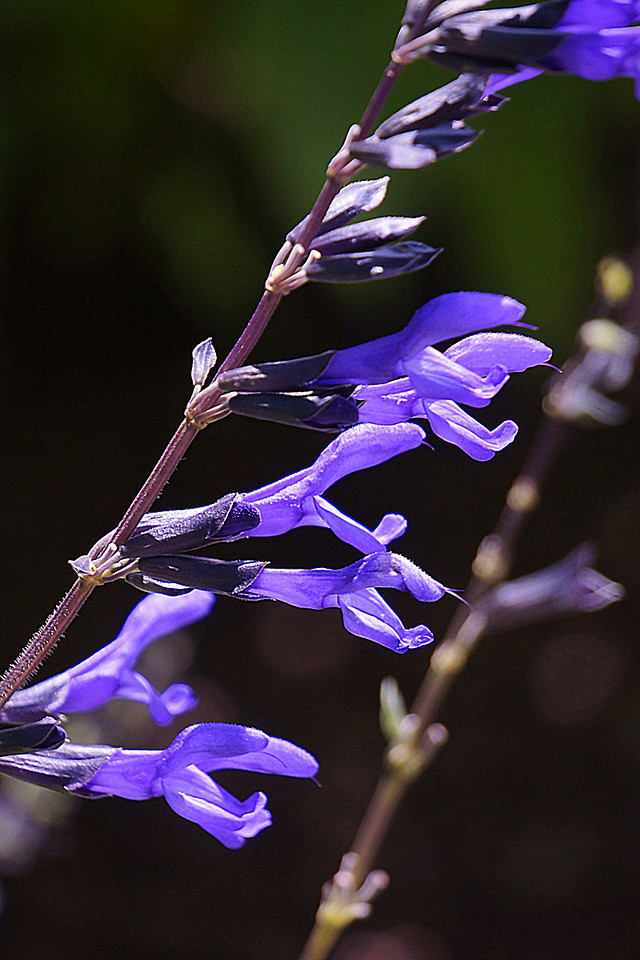 Purple flowers at Inniswoods Metro Gardens in Westerville, Ohio