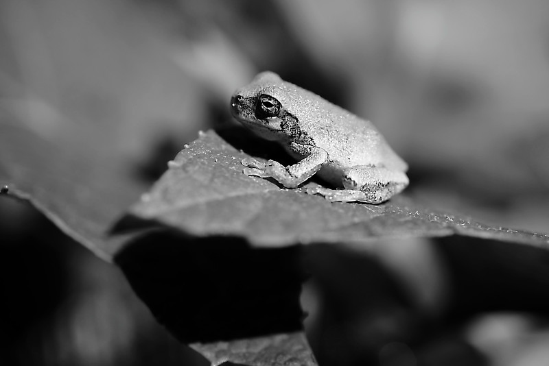 Tiny green frog found at Inniswoods Metro Gardens in Westerville, Ohio done in monochrome.
