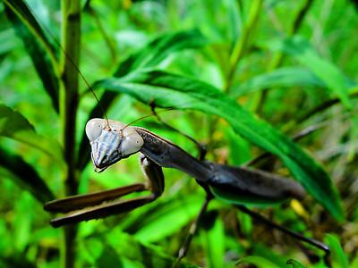 Macro closeup of a friendly praying mantis at a local park in the Summer