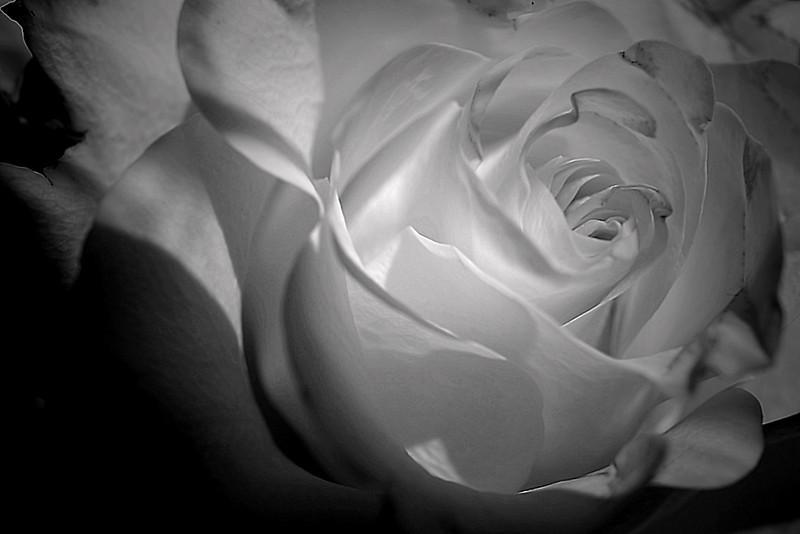 Monochrome rose macro