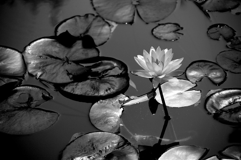 Lily And Pads At The Botonical Gardens in Zilker Park  Austin, Texas