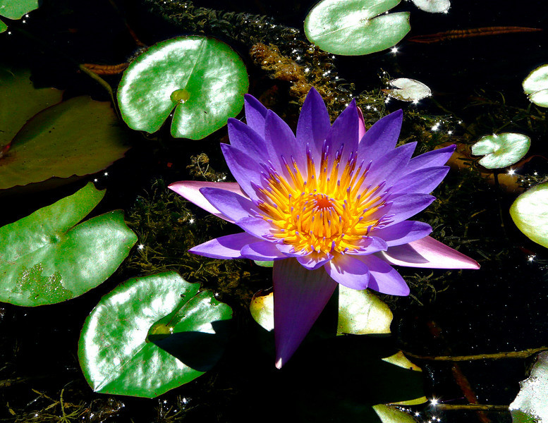 Lotus at the Botonical Gardens in Zilker Park  Austin, Texas