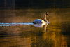 Early morning sun's glow on Lady Bird Lake illuminates this graceful swan as it courses through the water on Lady Bird Lake in Austin, Texas.