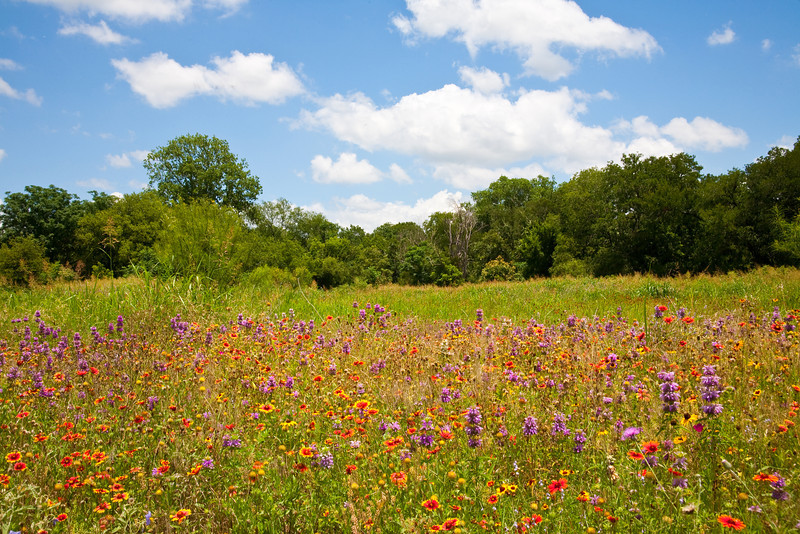 Wildflowers in east Austin park off Riverside Drive.