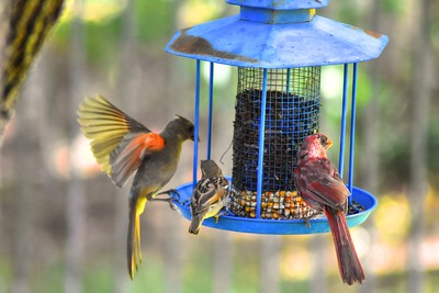 Backyard Birds 8.12.16 - HDRs Reduced