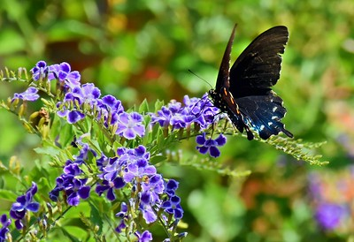 Black Butterfly in Backyard 10.3.16 HDRs
