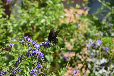 Black Butterfly in Backyard 10.3.16