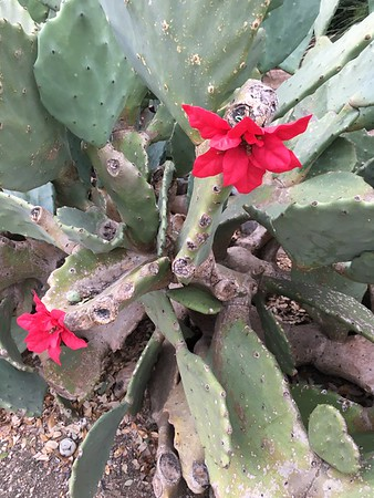 Images from folder Westbank Cactus Flowers 1.1.16